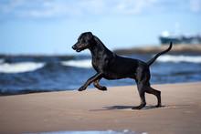 Black Catahoula Dog Running On...
