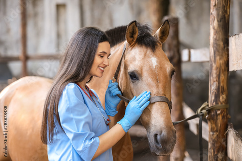 Fototapeta Veterinarian examining horse on farm obraz