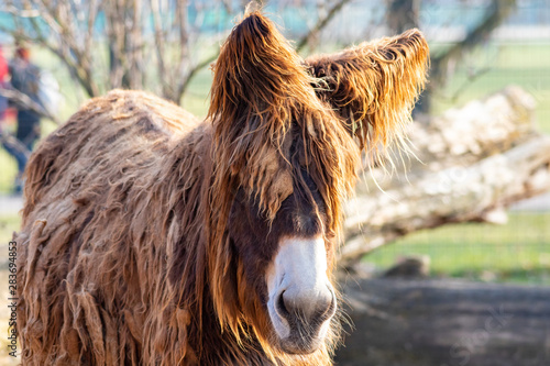 Fotografie, Obraz  Portrait eines Poitou-Esels