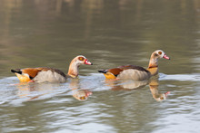 Two Egyptian Nile Geese (alopochen Aegyptiaca) Swimming In Water