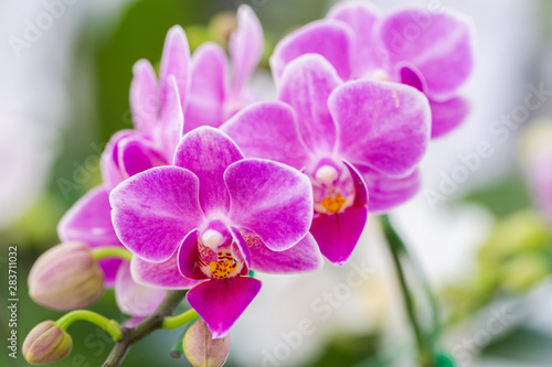 Obraz Orchid flower in orchid garden at winter or spring day for postcard beauty and agriculture design. Phalaenopsis Orchidaceae. - fototapety do salonu