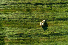 Aerial Image Of Sheep In A Field