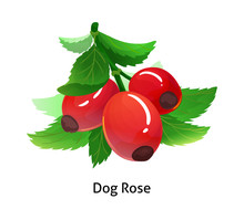 Dog Rose Berries With Leaf On ...