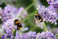 Close Up Of Bumblebee Collecti...