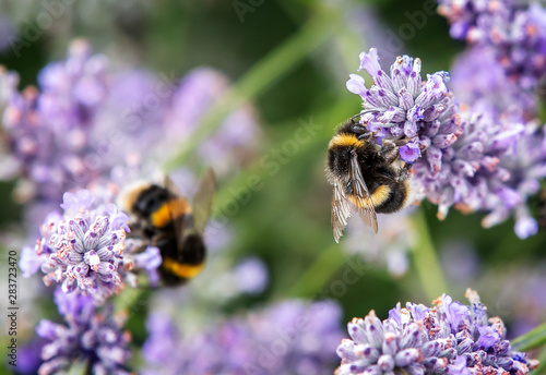 Fotografija Close up of bumblebee collecting pollen and nectar from lavender flowers, second