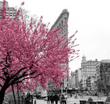 Fototapeta Nowy York - Pink flowers blossom on a tree in a black and white cityscape scene with people walking through Madison Square Park in Midtown Manhattan, New York City