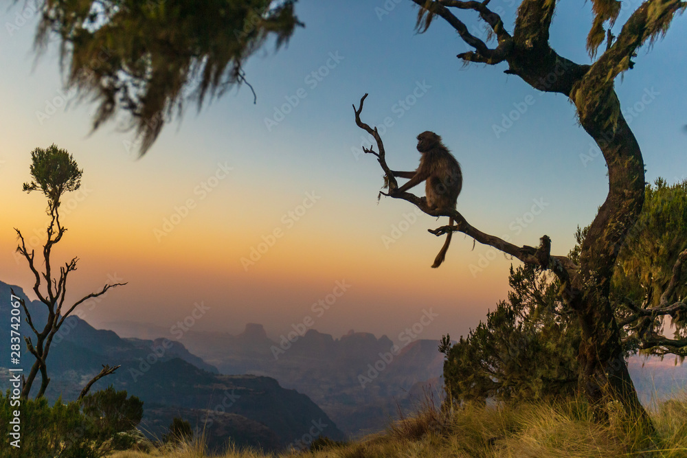Fototapety, obrazy: Gelada baboon sitting on a branch and watching the sunset