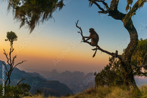 Papiers peints Singe Gelada baboon sitting on a branch and watching the sunset