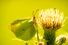 Brimstone Butterfly On A Thist...