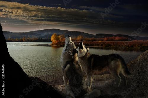 Foto auf Leinwand Schwarz two wolves howl on the autumn riverbank