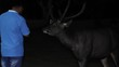 Wild deer in nature in the national park of Thailand. Tourist give food to the deer at night.