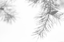 Gray Shadow Of Natural Pine Tree Brunch On A White Wall. Abstract Neutral Nature Concept Blurred Background. Space For Text. Overlay Effect For Photo, Mock-ups, Posters, Stationary, Wall Art, Design