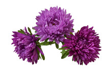 Asters Purple Three Isolated O...