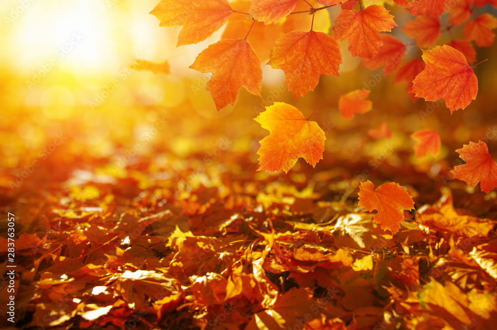 Fototapety, obrazy: Autumn leaves on the sun.