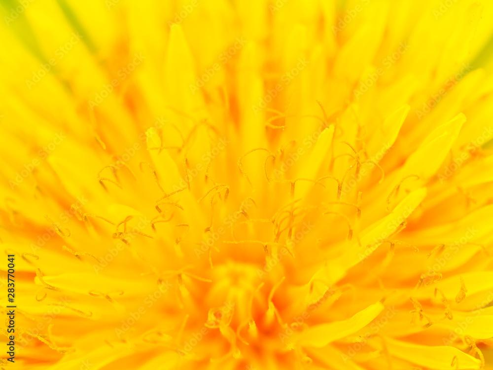 Fototapety, obrazy: Beautiful Yellow Dandelion Close Up Macro image