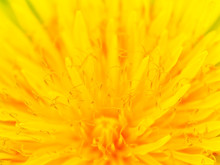 Beautiful Yellow Dandelion Close Up Macro Image