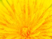 Beautiful Yellow Dandelion Clo...