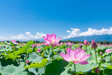 安曇野の蓮畑の蓮の花