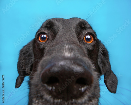 cute border collie labrador mix isolated on a blue background studio shot Fototapeta