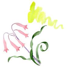 Albuca Canadensis Floral Botan...