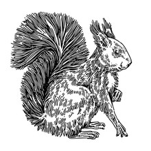Sitting Cute Squirrel With Fluffy Tail. Sketch. Engraving Style. Vector Illustration.
