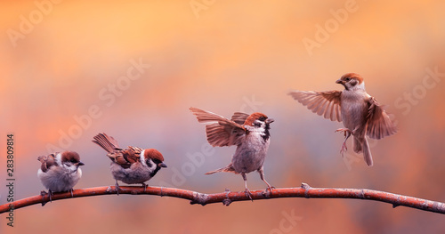 funny little Chicks of a bird a Sparrow standing on a branch and bet flapping the wings of the solar Park