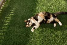 Black And Orange Calico Cat Ly...