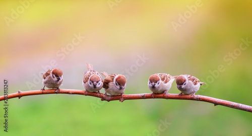 Photo Stands Trees beautiful natural background with little funny Chicks Sparrow birds sitting on a branch in Sunny summer garden