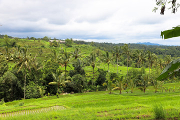 Fototapeta na wymiar Green rice fields on Bali island, Jatiluwih near Ubud, Indonesia