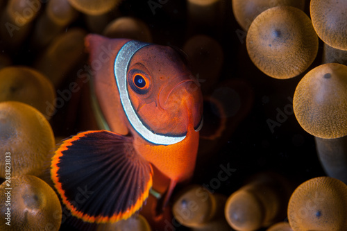 Fényképezés A young Spinecheek anemonefish, Premnas biaculeatus, swims among the tentacles of its host anemone in Lembeh Strait, Indonesia