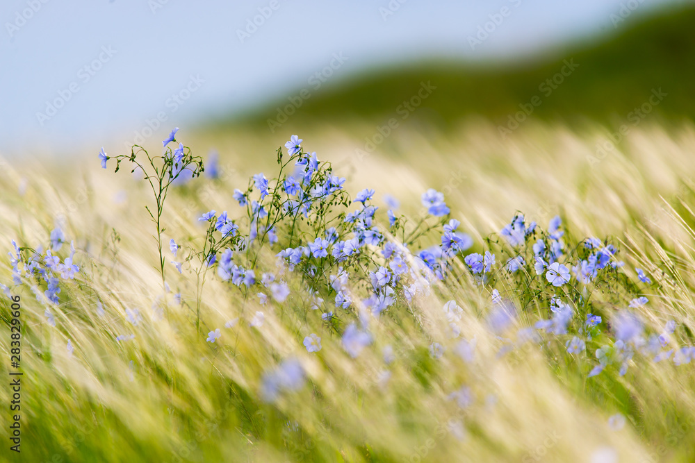 Fototapeta Bright delicate blue flower of ornamental flower of flax and its shoot against complex background. Flowers of decorative flax. Agricultural field of flax technical culture in stage of active flowering