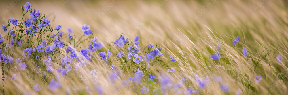 Fototapety, obrazy: Bright delicate blue flower of ornamental flower of flax and its shoot against complex background. Flowers of decorative flax. Agricultural field of flax technical culture in stage of active flowering