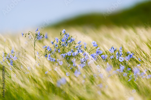 Fototapeta Bright delicate blue flower of ornamental flower of flax and its shoot against complex background. Flowers of decorative flax. Agricultural field of flax technical culture in stage of active flowering obraz