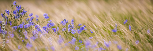 Photo sur Aluminium Pres, Marais Bright delicate blue flower of ornamental flower of flax and its shoot against complex background. Flowers of decorative flax. Agricultural field of flax technical culture in stage of active flowering