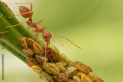 Fotografiet Ants and leafhopper on green tree over natural background concept for  pesticdes