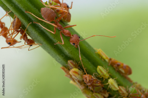 Ants and leafhopper on green tree over natural background concept for  pesticdes Canvas Print