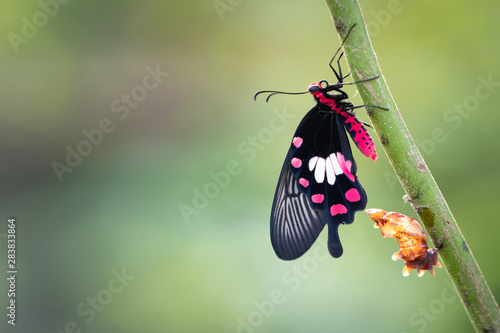 Transformation of common rose butterfly emerging from cocoon, chrysalis Fototapete