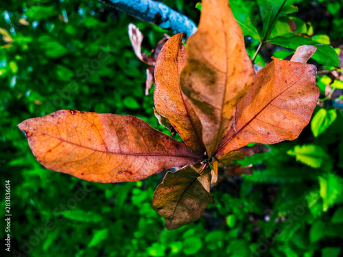 Brown Leave Plant with a Green Background