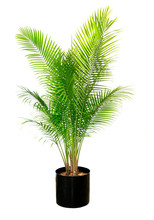 Majesty Palm Isolated On White