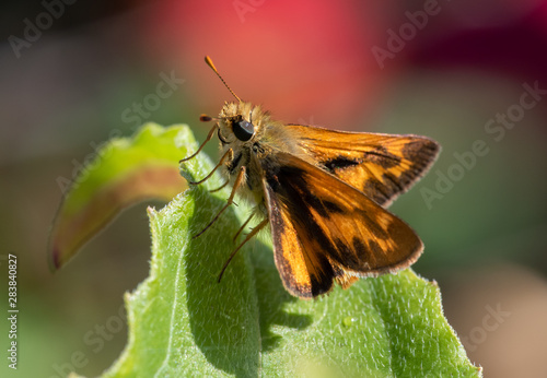 A Woodland Skipper Butterfly (Ochlodes sylvanoides) perched on a green leaf