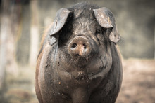 Portrait Of Dirty Cute Pig Eating With Big Ears Covering His Head, Looking Sad