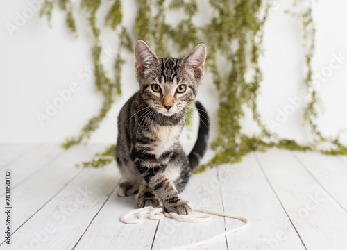 Adorable tabby kitten with yellow eyes sitting on a white floor on a studio set with greenery backdrop