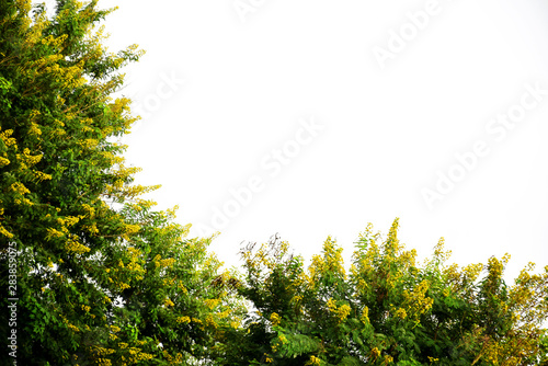 Fotografija Yellow flowers of green tree isolated on white background