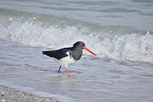 Oystercatcher Bird Walking Along Shore Line