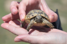 Small Turtle In The Hands Of A Person