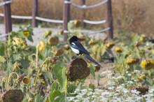 Magpie On Sunflower