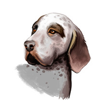 Burgos Pointer Dog Breed Isolated On White Background Digital Art Illustration. Burgalese Pointer Breed Of Dog Native To Spain. Cute Pet Hand Drawn Portrait. Graphic Clipart Design Realistic Animal.