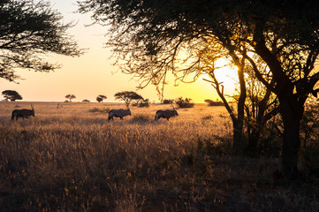 Herd Of Gemsbok At Sunset