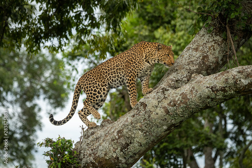 Cuadros en Lienzo Leopard climbs up lichen-covered branch lifting foot