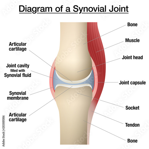 Synovial joint chart Canvas Print